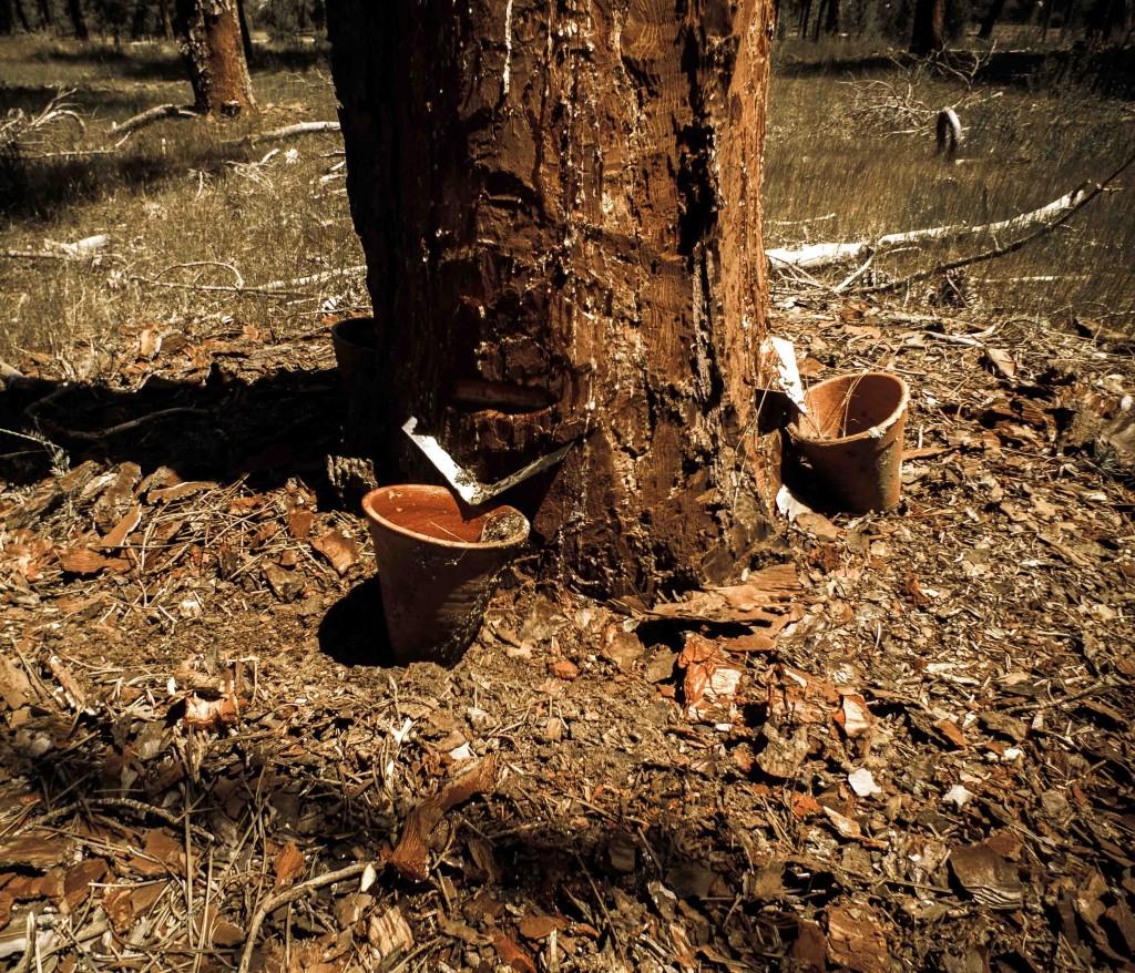 Primera pica de un pino a resinación a muerte